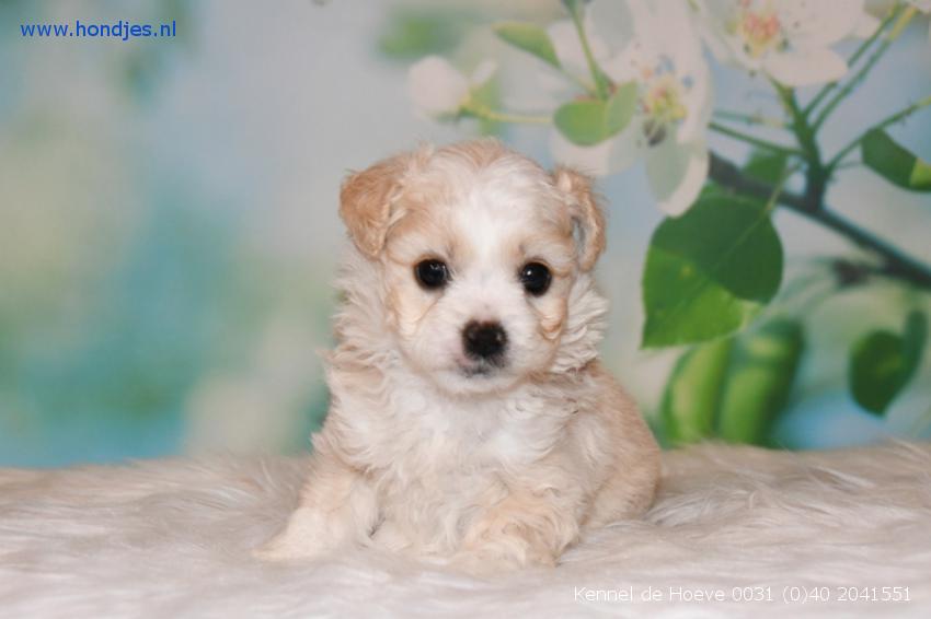 Boomer x Chihuahua Teef 4935 aangeboden bij Kennel de Hoeve